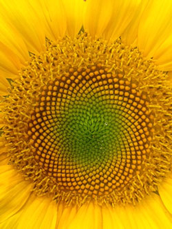 Patterns in a sunflower